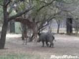 Giraffe Kicks Rhino