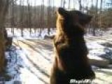 Bear Walks To Tourists