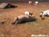 Baby Goat Plays With Bacon