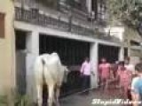 Bull Kick Near Miss