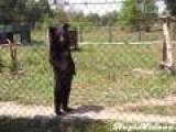 Bear Creepily Walks Like Human
