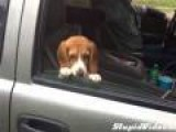 Beagle Doesn't Want Window To Close