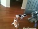 Cat Drags Dog Away By Leash