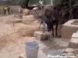 Cow Pumps Water