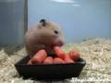 Carrot Greedy Hamster