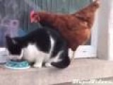 Chicken Fights Cat For Food