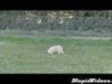 Dog Runs Over Cat
