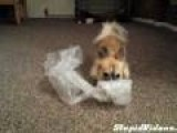 Dog Blissfully Pops Bubble Wrap For A Solid Minute