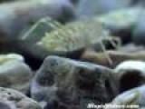 Dragonfly Larvae Hunting Underwater