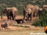 Elephant Rescues Her Calf From Mud