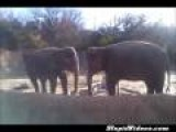 Elephant REALLY Wants To Break Stick