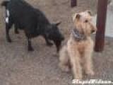 Goat Licking Dog