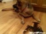 German Shepherd Protects Lobster