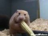 Hamster Snacking On Corn