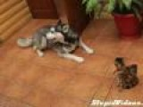 Husky Just Wants Kitten To Play