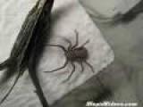 Hiding Spider