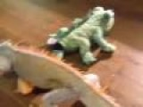 Iguana Defends His Honor Against Stuff Animal