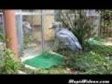 Large Intense Birds Have Angry Standoff