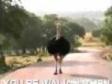 Ostrich Hip Hop Activate!