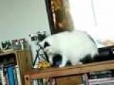 Obedient Cat