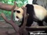 Panda Gets Revenge