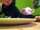 Piggy Wants Salad