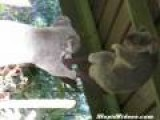 Possessed Koala Fight