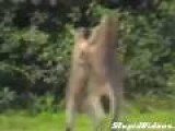 Professionally Commentated Kangaroo Fight