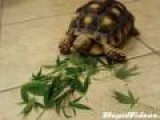 Turtle Snacking On Pot