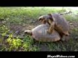 Tortoises Mating Is Adorable