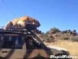Tiger Falls Asleep On Jeep