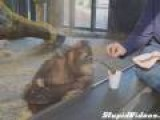 Young Orangutan Enjoys Magic Trick