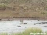Zebra Wanders Into Lion's Watering Hole