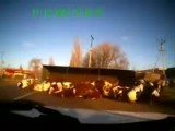 Truck With Cows Loses Control And Crashes!