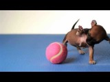 Tiny Beyonce And The Pink Ball